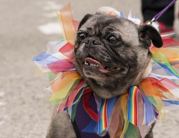pug with rainbow collar