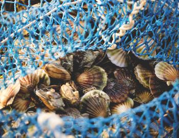 scalloping in nantucket