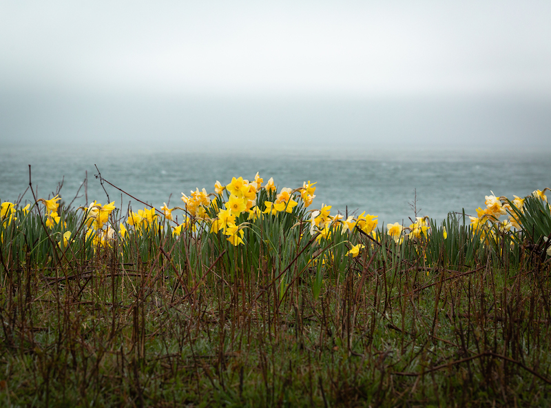 daffodils along shoreline